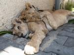 Gaza lions 980x